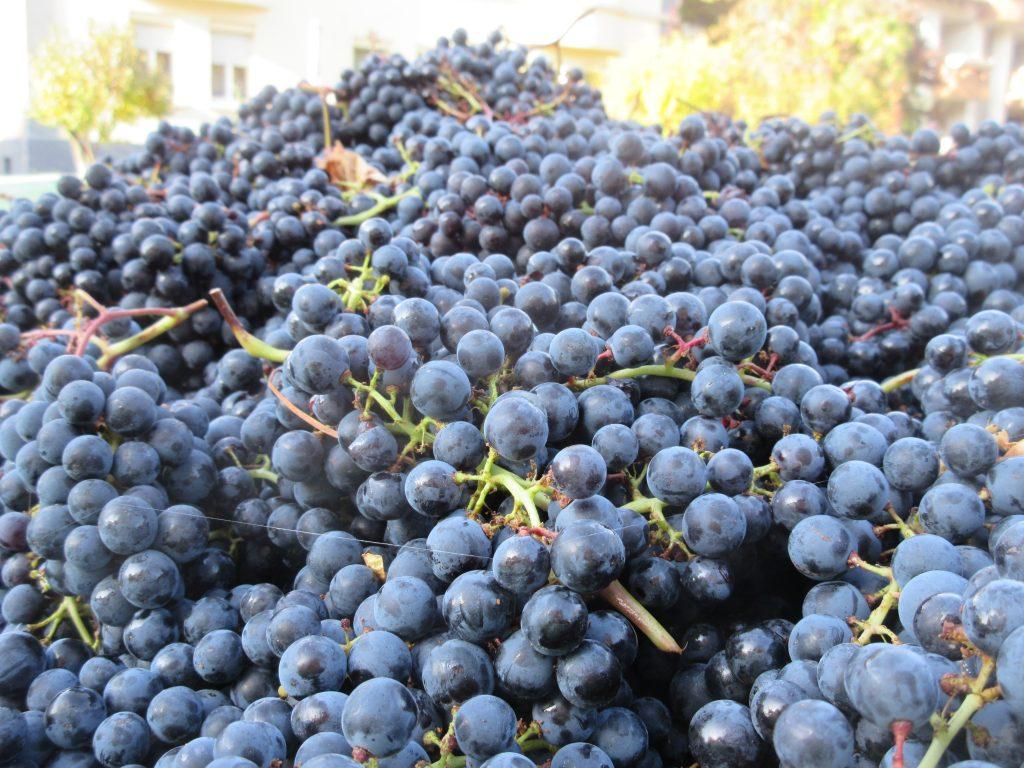 An der Grabkapelle Württemberg finden Sie beim Wandern Weintrauben satt!