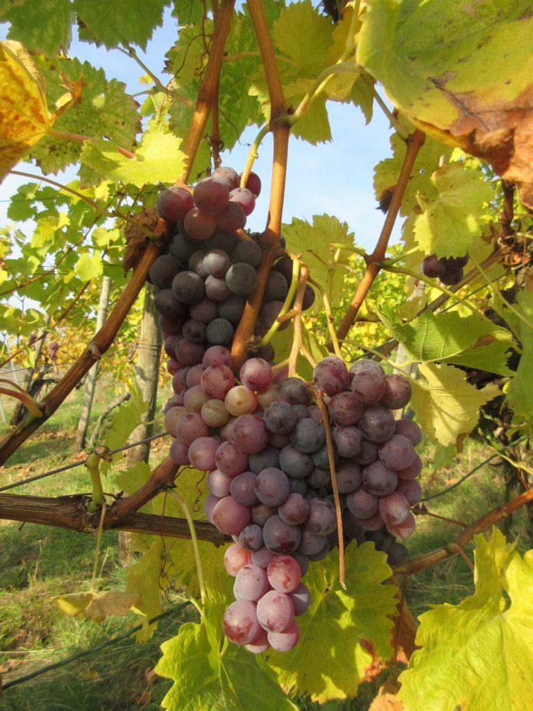 Naschen erlaubt: beim Wandern rund um die Grabkapelle Württemberg wimmelt es nur so vor Weinreben!