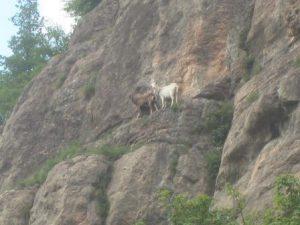 Wie kommen die Ziegen auf die Felsen an der Berounka?