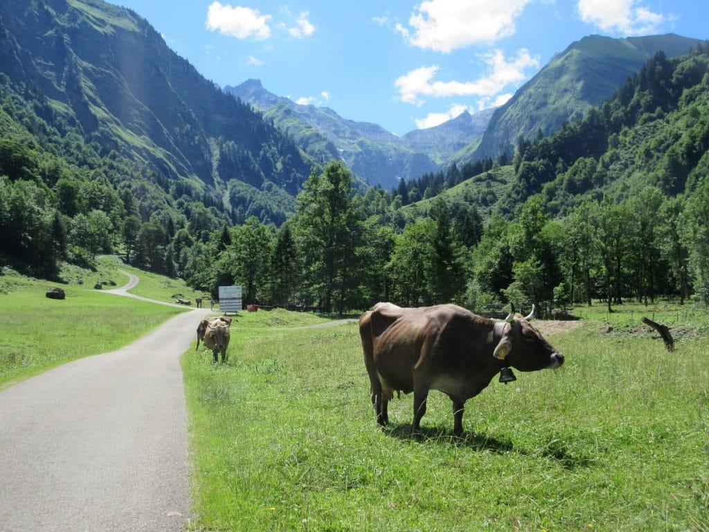 So stellt man sich das Allgäu vor: Rindvieh in Spielmannsau!