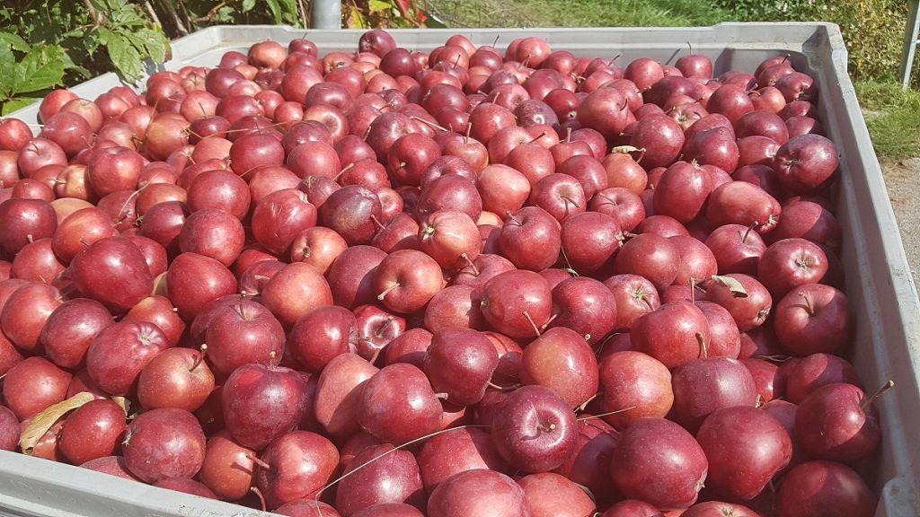 Wer zur Apfelernte nach Partschins wandern möchte, hat die Qual der Wahl. Lieber rote Äpfel?