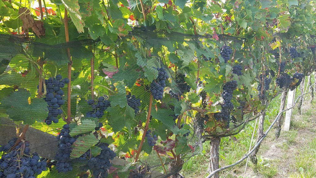 Apfelernte und Weinstöcke in Südtirol: was man alles zu sehen bekommt im Meraner Land!