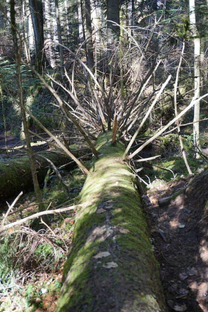 Am Boden liegender Baumstamm