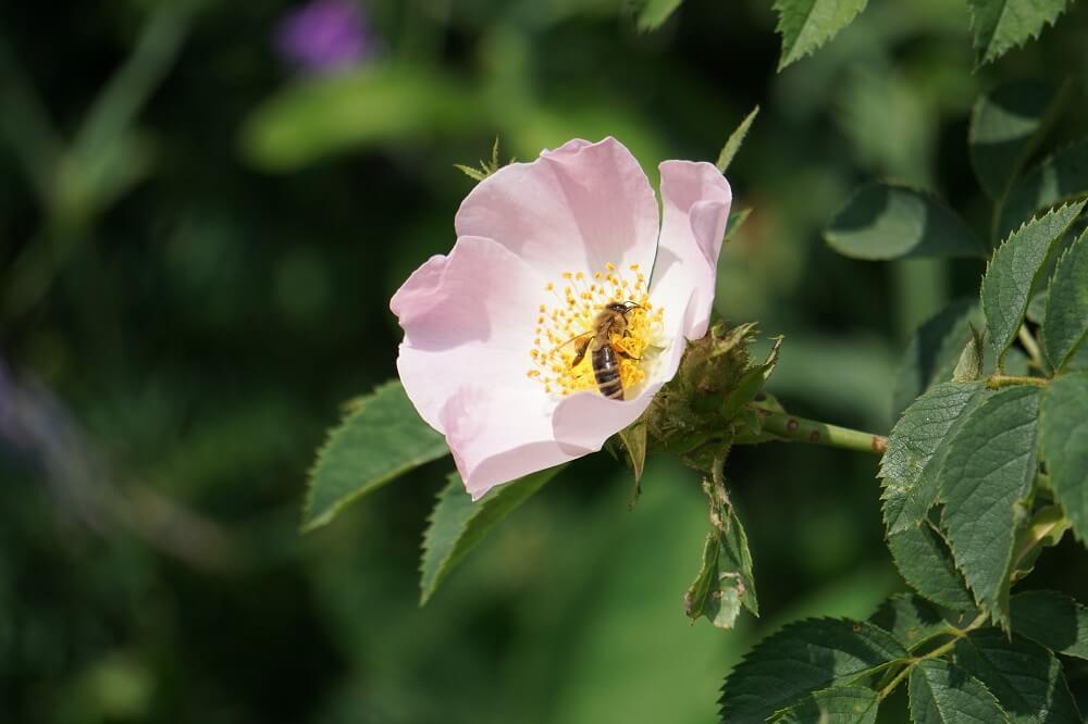 Blüte mit Biene